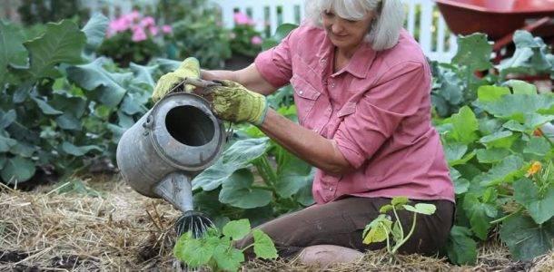 Выращивание и уход за кабачками в открытом грунте - полив, подкормка