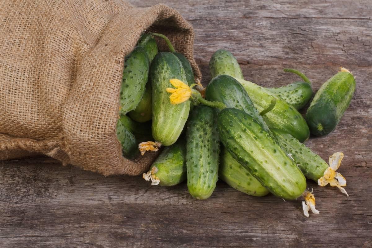 Лучшие сорта (гибриды) огурцов для выращивания в теплице: самоопыляемые (партенокарпические) и пчелоопыляемые