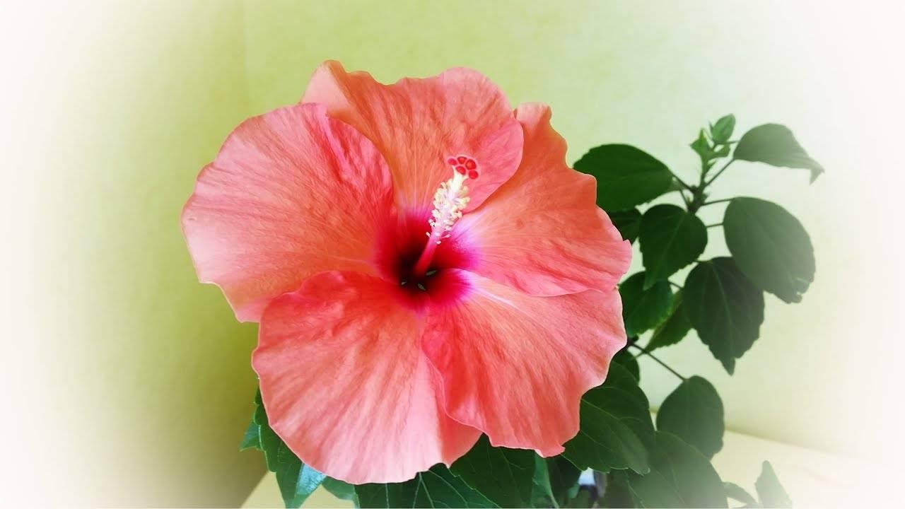 Почему домашняя роза сбрасывает бутоны. если заболел гибискус: болезни китайской розы, методы лечения