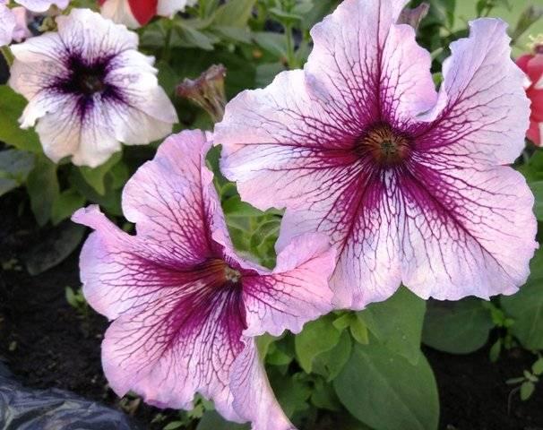 Посев петунии на рассаду - проверенные способы и хитрости цветоводов. | красивый дом и сад