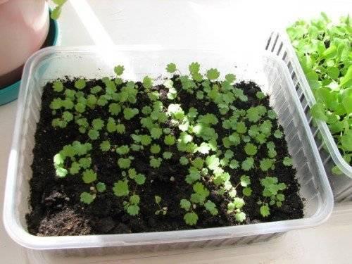 Как вырастить рассаду клубники из семян? сроки посева, уход за рассадой.