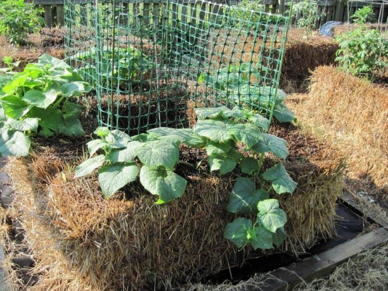 Способы посадки огурцов: описание необычных методик выращивания и советы огородников