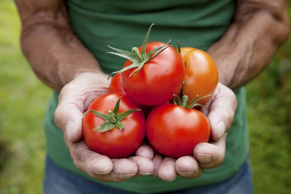 Лучшие сорта томатов для теплицы