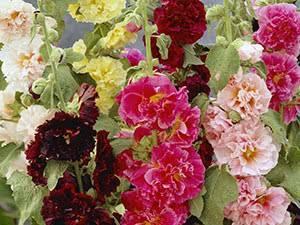 Цветы мальва многолетняя, выращивание и уход.
