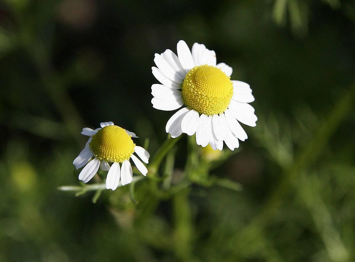 Язык цветов (флориография) - значение цветов