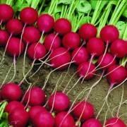 Семена редиса – лучшие сорта, как выбрать, выращивание своими руками