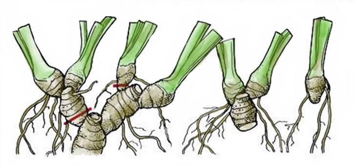 Особенности размножения ирисов