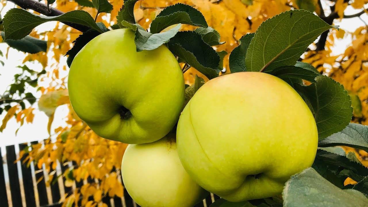 Описание и особенности выращивания яблони богатырь