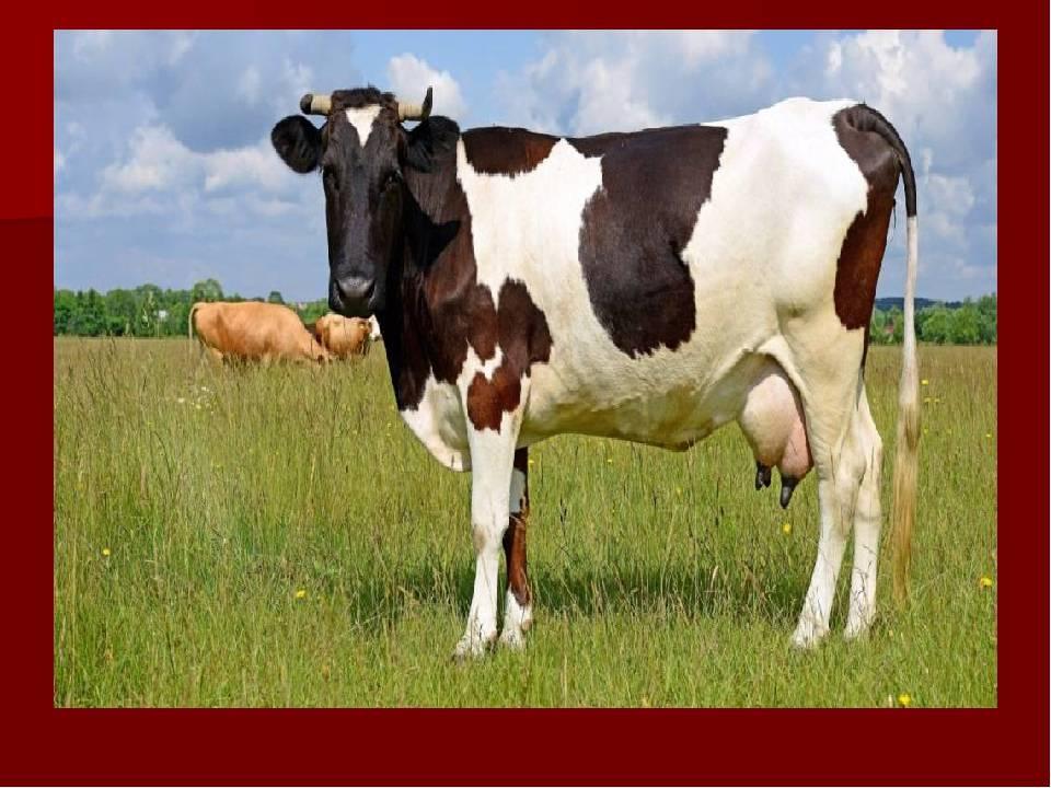 Инфекционный мастит у коров