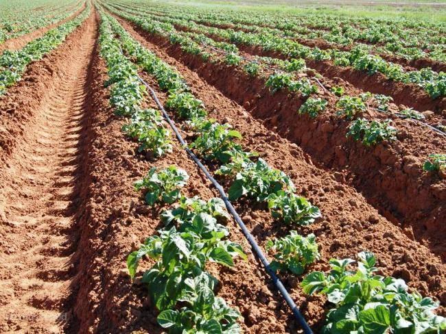 Посадка картошки – сроки, правила подготовки клубней, схема и популярные способы посадки