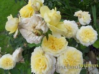 Сорта-любимцы :: энциклопедия роз