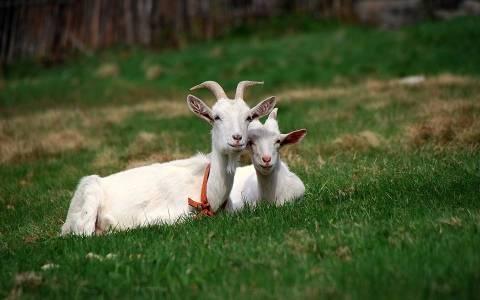 Популярные породы коз