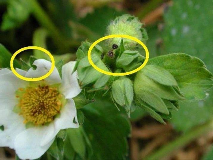 На клубнике нет завязей после хорошего цветения: причина, что делать