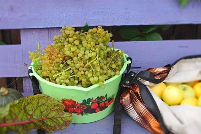 Сорт винограда «коринка русская»