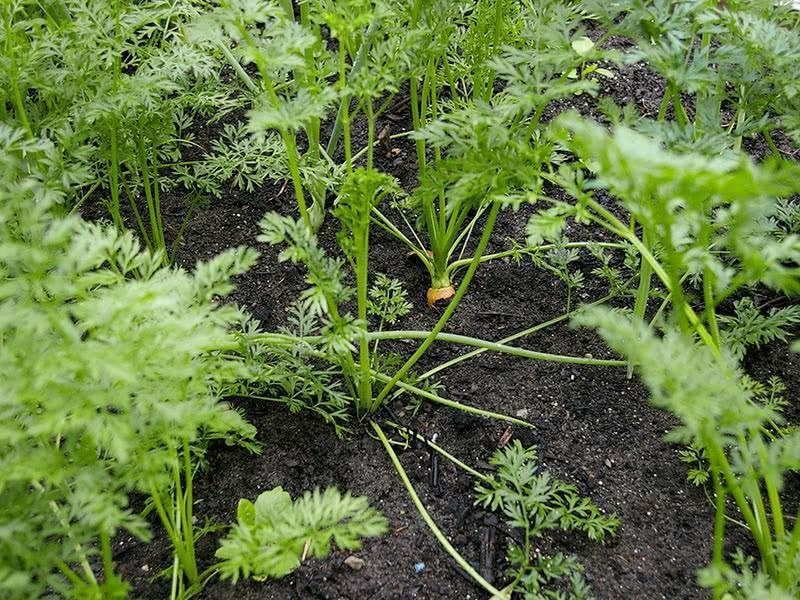 Как поливать морковь после посадки в открытый грунт, надо ли это делать сразу после посева, когда нужно и чем проводить процедуру, а также сколько раз в месяц?