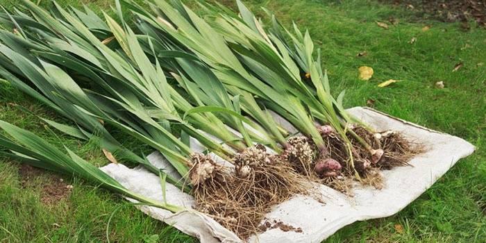 О выкапывании гладиолусов осенью после цветения и хранении луковиц зимой
