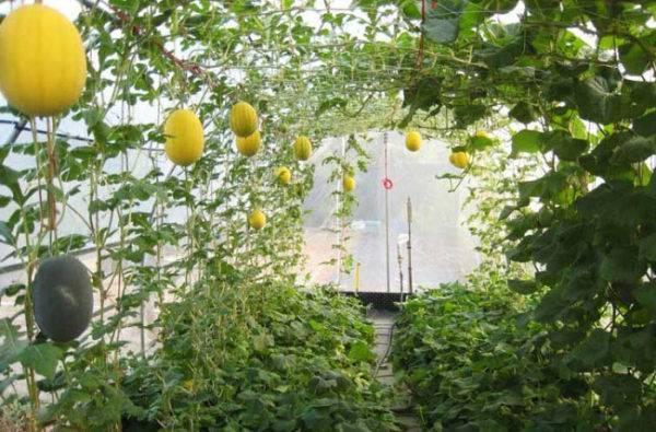 Как вырастить арбузы на урале