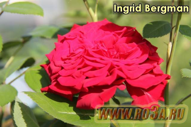 О розе malibu: описание и характеристики, выращивание сорта чайно-гибридной розы