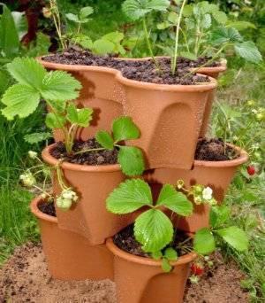Вьющаяся ампельная клубника: выращивание и уход