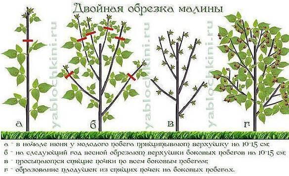 Обрезка малины весной — сроки регулярного обновления малинника