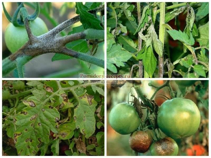 Спасут ли народные средства помидоры от фитофторы? чем и как обработать томаты от болезни?