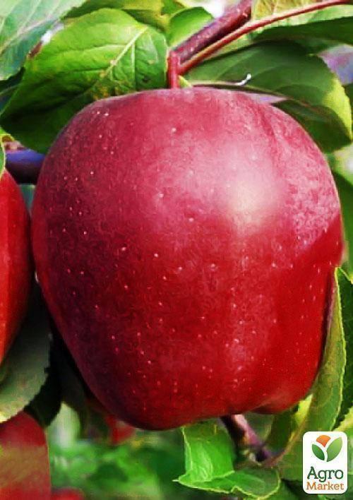 Неприхотливая глостер яблоня: описание сорта с фото — особенности выращивания