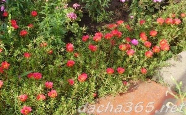 Портулак — сорняк или полезное растение