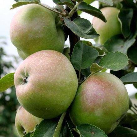 Янтарное ожерелье: описание колоновидной яблони, отзывы, фото и особенности выращивания и ухода