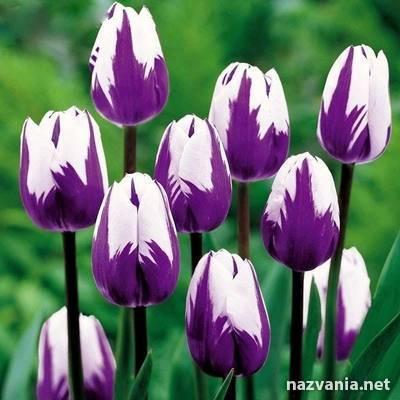 О разноцветных красивых тюльпанах (какие бывают виды, посадка и уход)