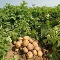 Как и когда поливать картофель: правила, сроки и нормы полива