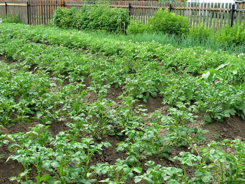 Лучшие сидераты под картофель для посева осенью