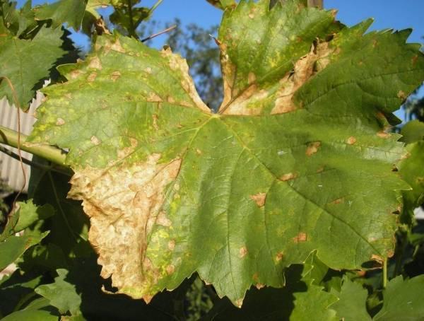 Поражение винограда мильдью, как с ней бороться, препараты для обработки