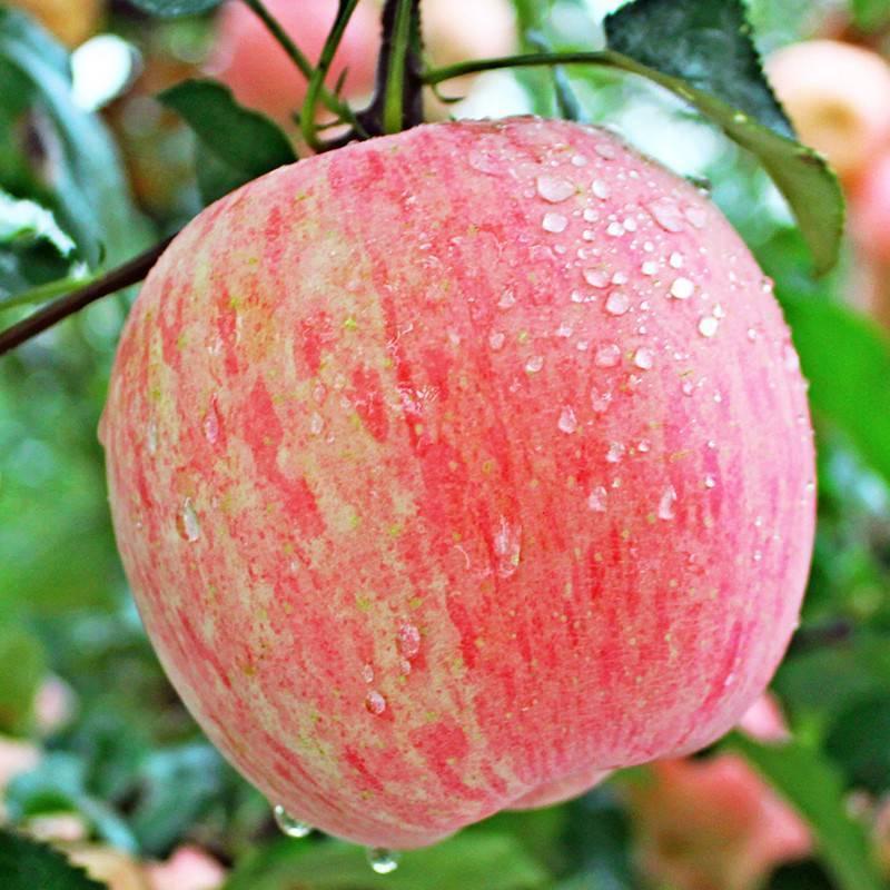 Яблоня фуджи: описание сорта