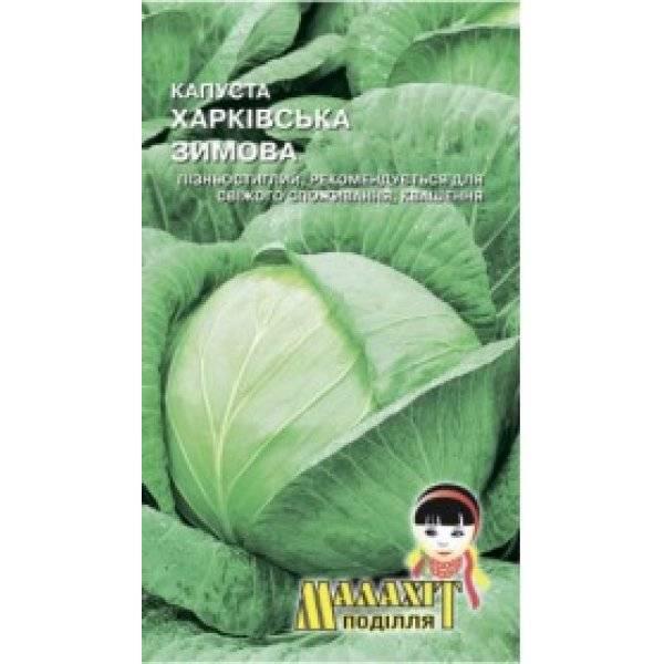 Капуста белорусская: особенности выращивания сорта