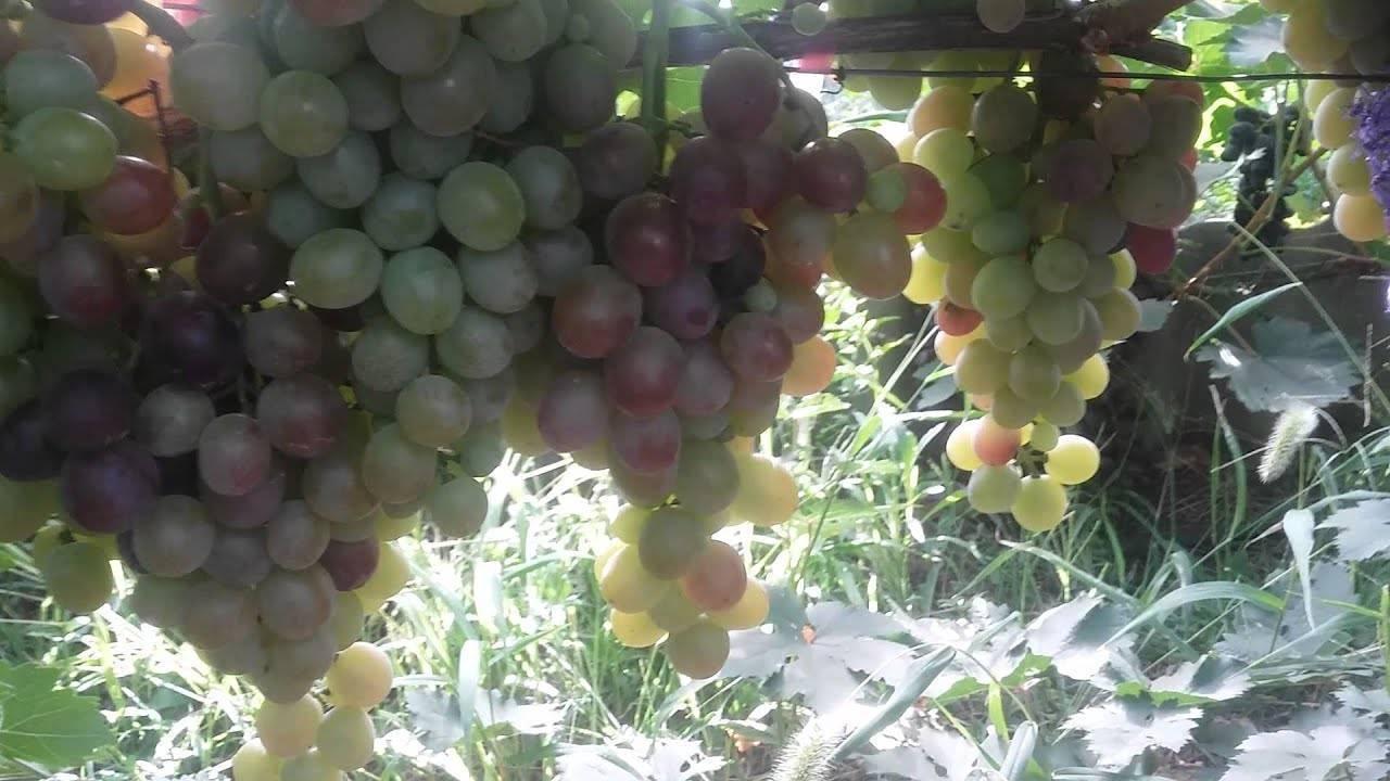 Сорт винограда сенатор (павловского)