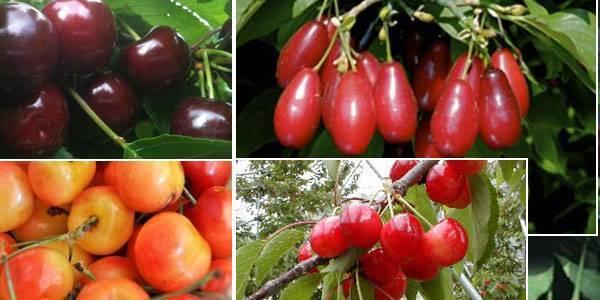 Надежда — отличный вишнёво-черешневый гибрид