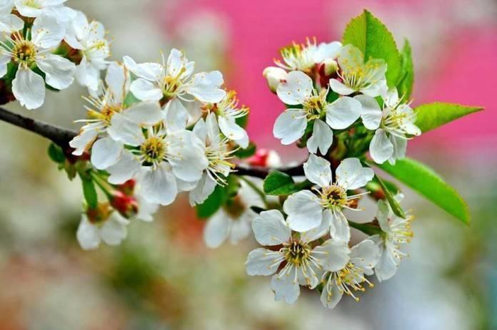 Почему на вишне много цветов и мало ягод: 7 популярных причин