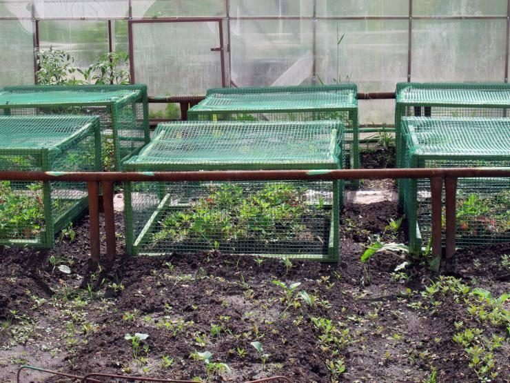 Как защитить клубнику от птиц: наиболее действенные способы