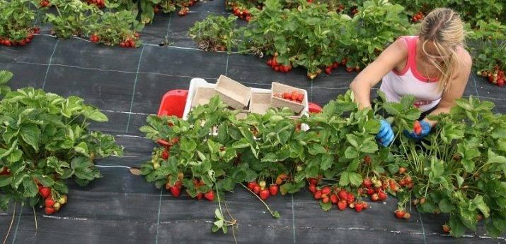 Клубника мице шиндлер: описание сорта, правила посадки и выращивания, размножение