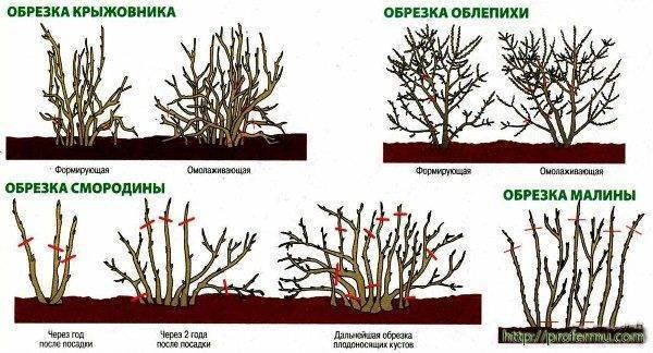Схема обрезки кустарников: виды, подкормка, садовые инструменты