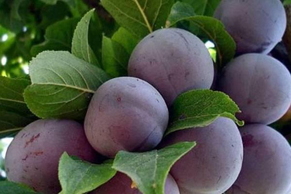 Характеристика и правила выращивания сливы мирабель