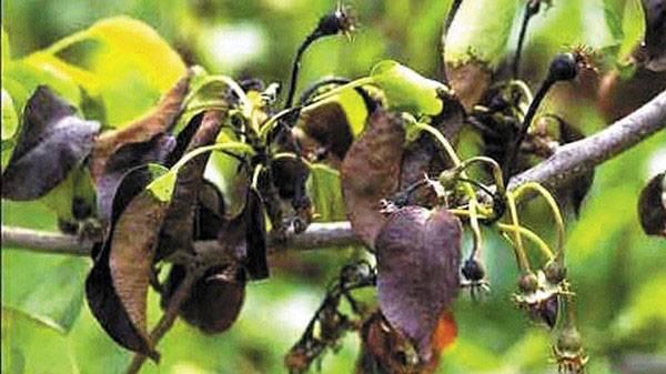 Бактериальный ожог груши и яблони. лечение
