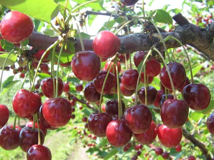 Сорта вишни зимостойкие, урожайные и устойчивые к болезням