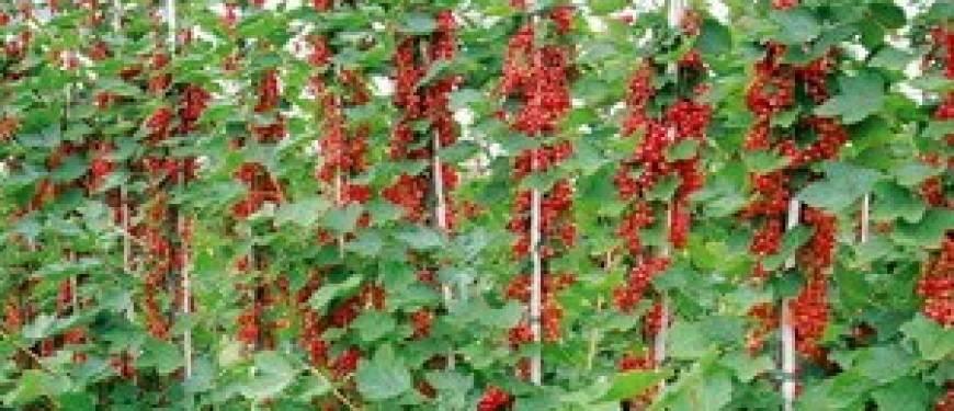 Красная смородина: посадка и уход, фото, обрезка, размножение, описание сортов
