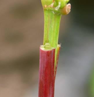 Прививка в расщеп – все, о чем надо знать садоводу