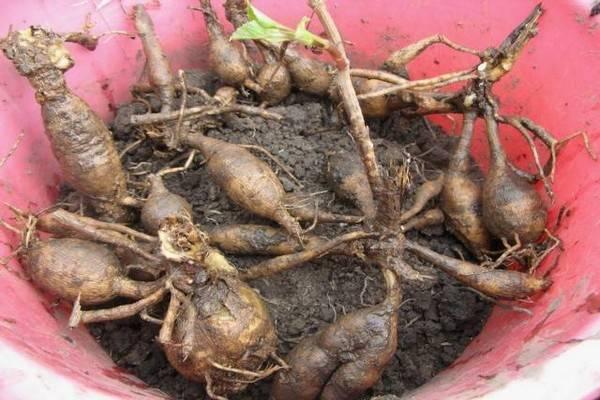 Георгины: выращивание, уход, хранение, вредители и болезни. принципы и секреты успешного выращивания георгинов на участке