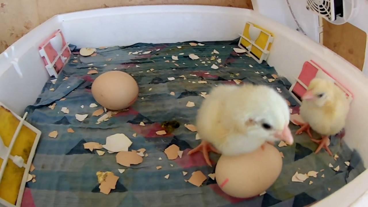 О препарате энростин (инструкция по применению для цыплят, кур): дозировка