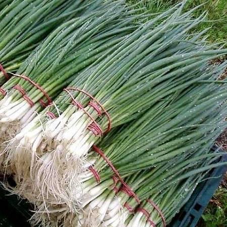 Как вырастить лук из семян за один сезон.