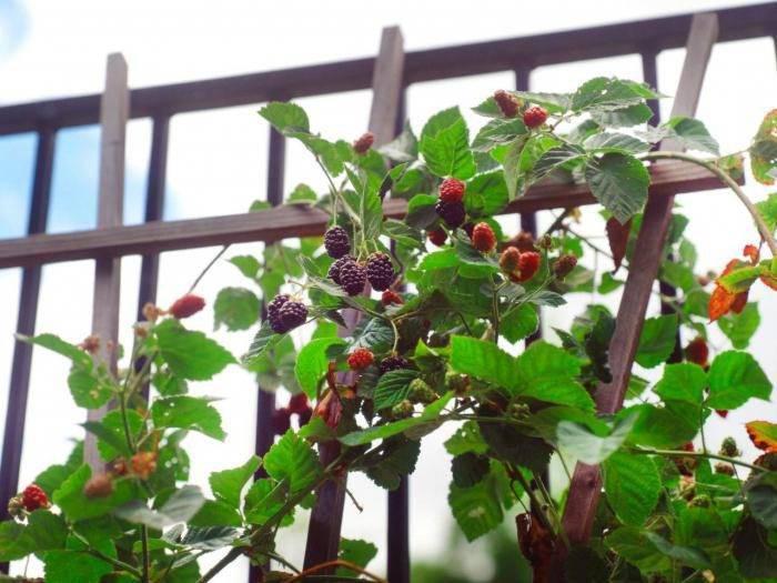 Ежевика без шипов: как правильно посадить и вырастить, особенности ухода