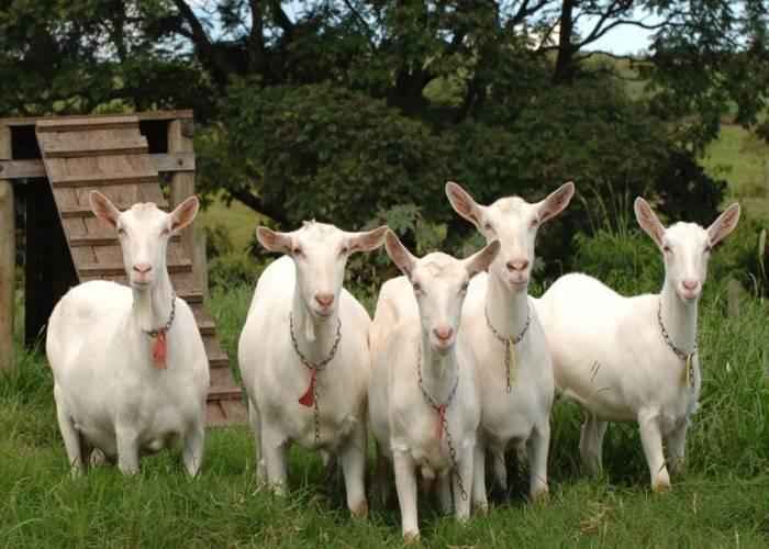 Молочные (высокоудойные) породы коз без запаха в россии: описание, основные показатели лучших представителей самых дойных — moloko-chr.ru